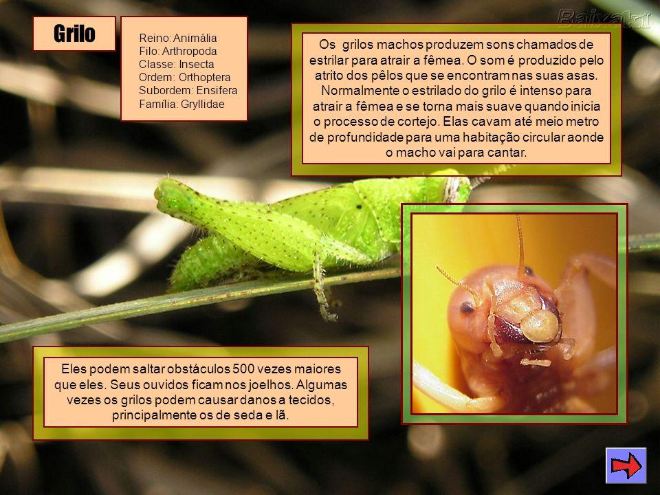 Grilo Reino: Animália Filo: Arthropoda Classe: Insecta Ordem: Orthoptera Subordem: Ensifera Família: Gryllidae Os grilos machos produzem sons chamados de estrilar para atrair a fêmea.