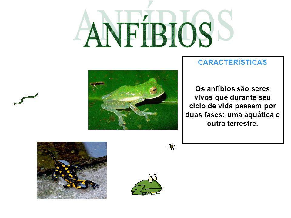 CARACTERÍSTICAS Os anfíbios são seres vivos que durante seu ciclo de vida passam por duas fases: uma aquática e outra terrestre.