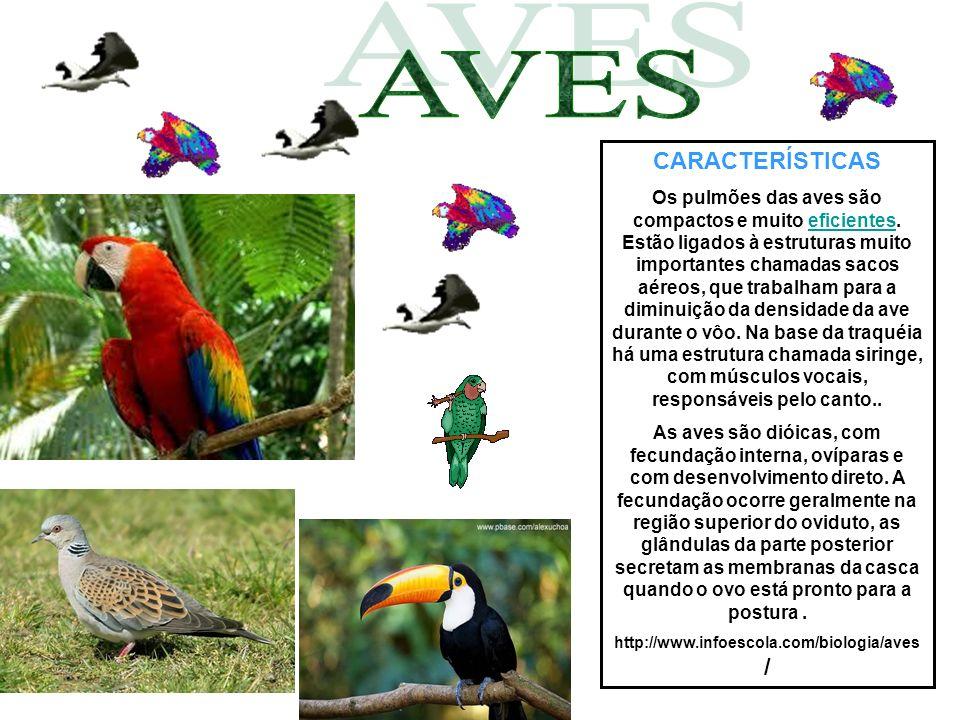 CARACTERÍSTICAS Os pulmões das aves são compactos e muito eficientes. Estão ligados à estruturas muito importantes chamadas sacos aéreos, que trabalha