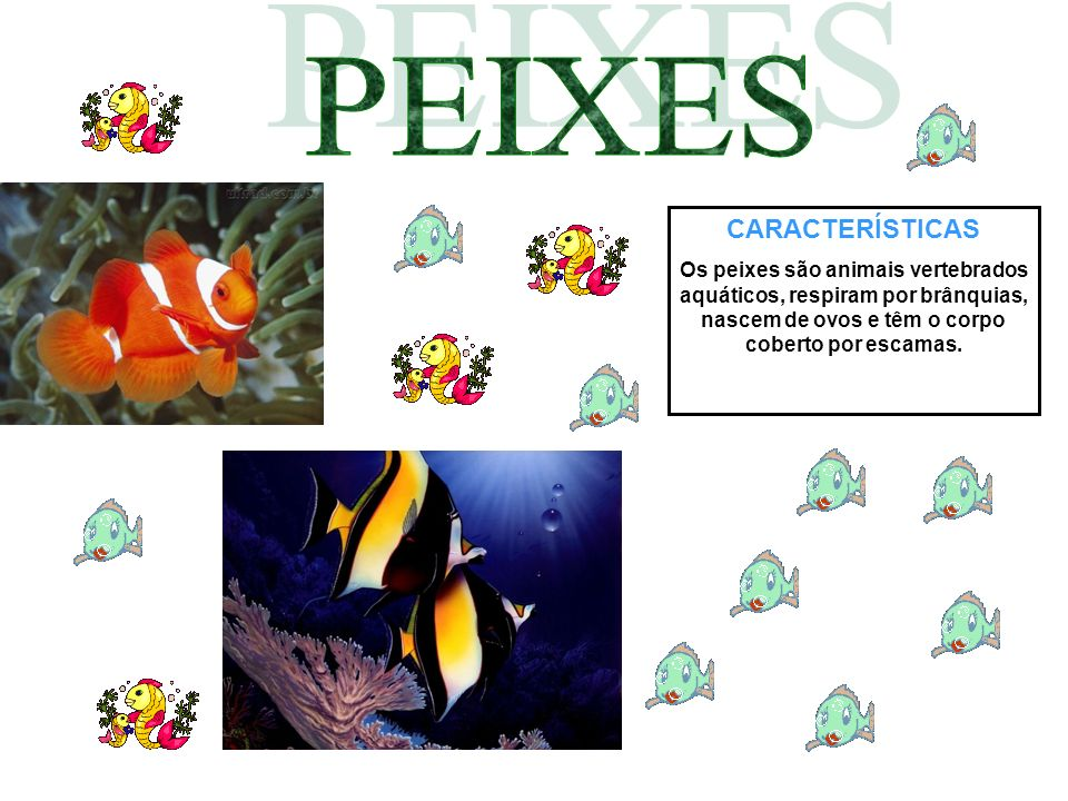 CARACTERÍSTICAS Os peixes são animais vertebrados aquáticos, respiram por brânquias, nascem de ovos e têm o corpo coberto por escamas.