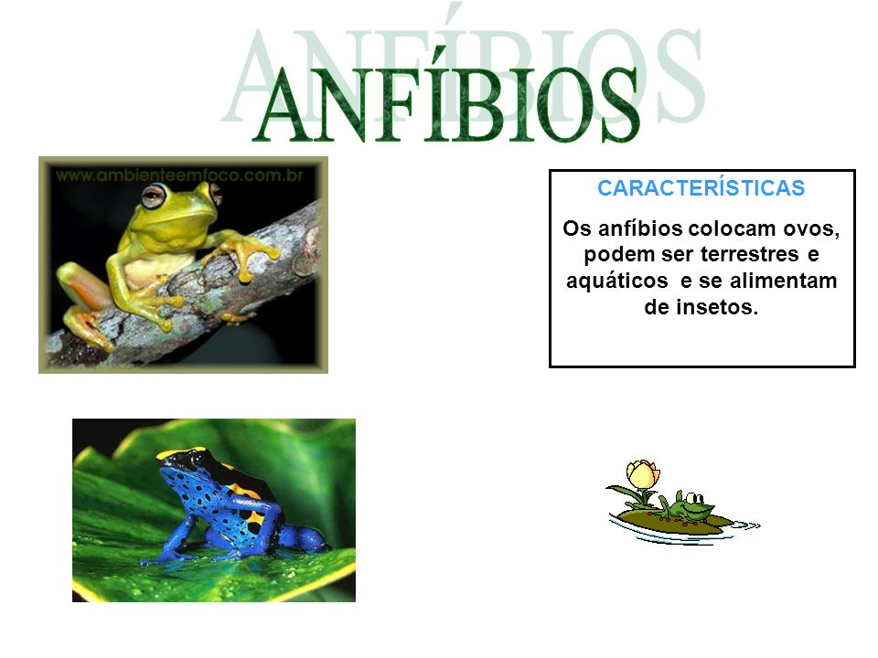CARACTERÍSTICAS Os anfíbios colocam ovos, podem ser terrestres e aquáticos e se alimentam de insetos.