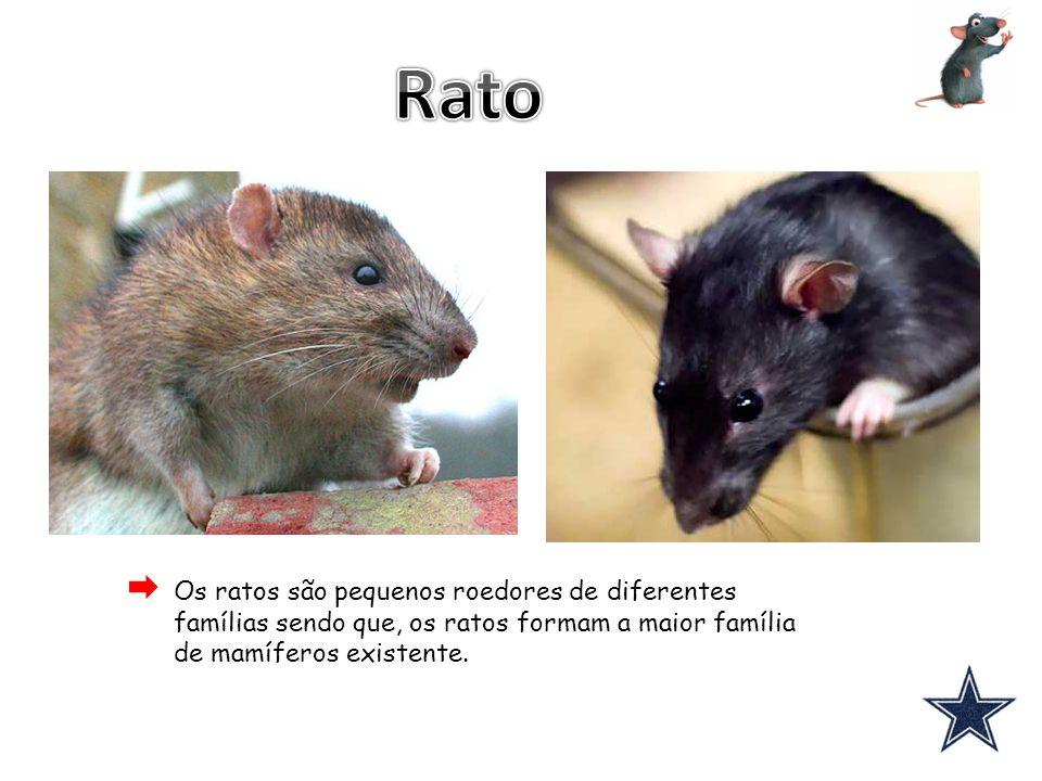 Os ratos são pequenos roedores de diferentes famílias sendo que, os ratos formam a maior família de mamíferos existente.