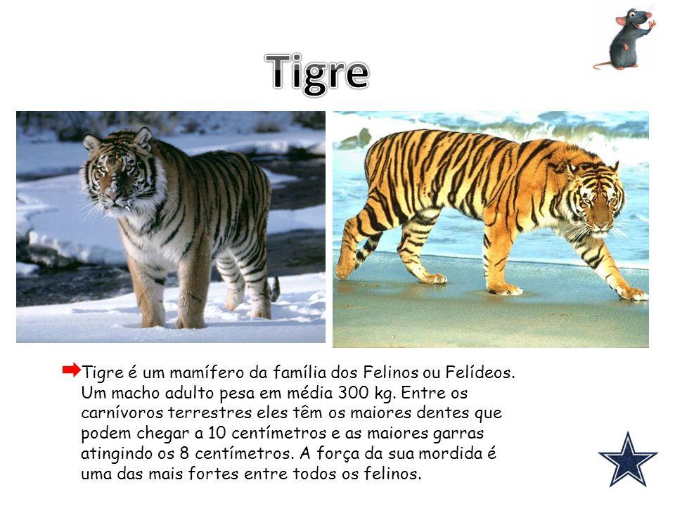 Tigre é um mamífero da família dos Felinos ou Felídeos. Um macho adulto pesa em média 300 kg. Entre os carnívoros terrestres eles têm os maiores dente