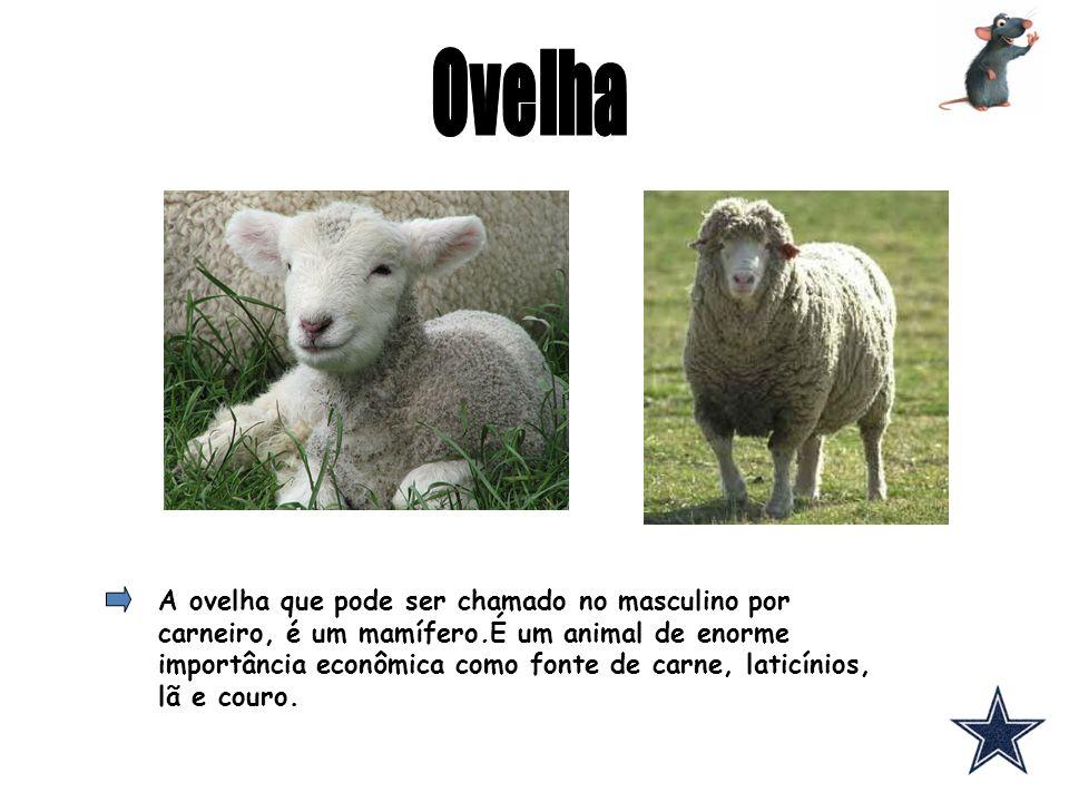 A ovelha que pode ser chamado no masculino por carneiro, é um mamífero.É um animal de enorme importância econômica como fonte de carne, laticínios, lã