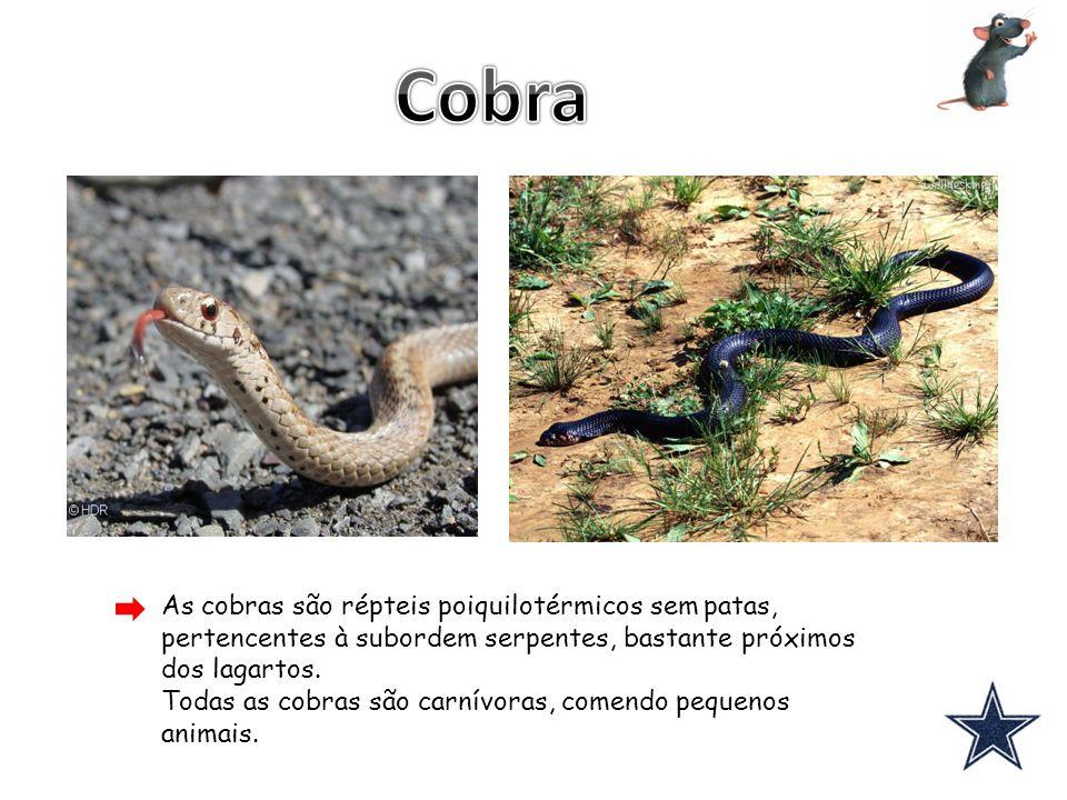 As cobras são répteis poiquilotérmicos sem patas, pertencentes à subordem serpentes, bastante próximos dos lagartos. Todas as cobras são carnívoras, c