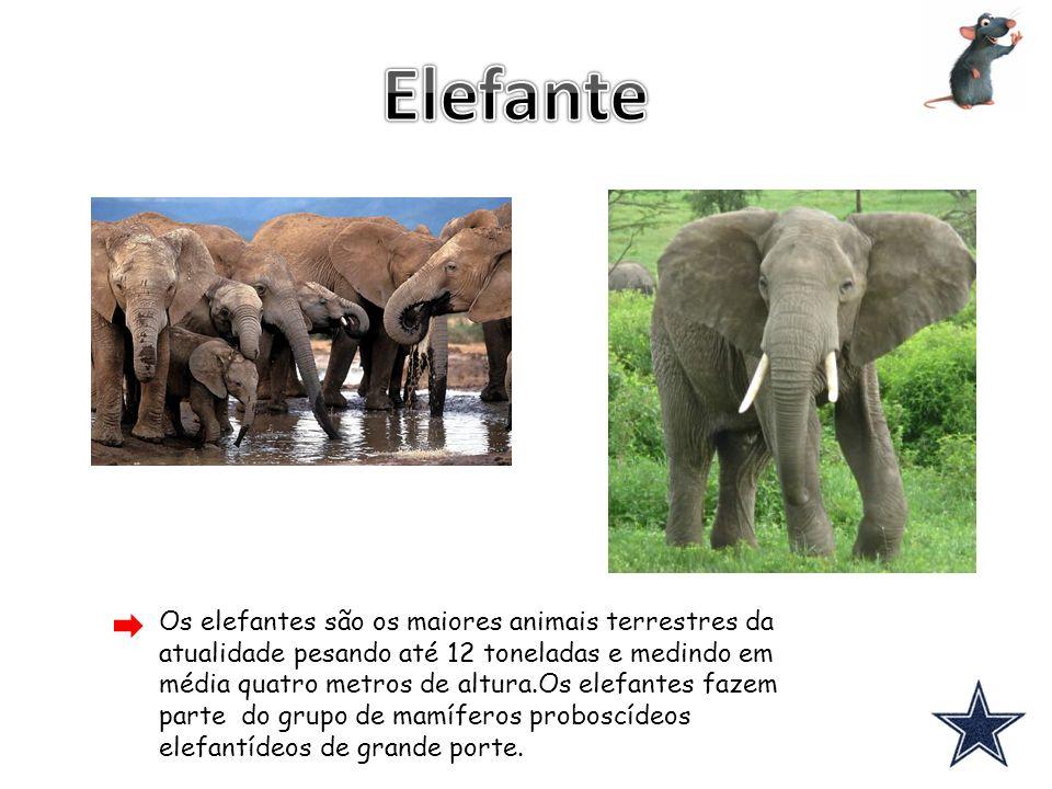 Os elefantes são os maiores animais terrestres da atualidade pesando até 12 toneladas e medindo em média quatro metros de altura.Os elefantes fazem pa