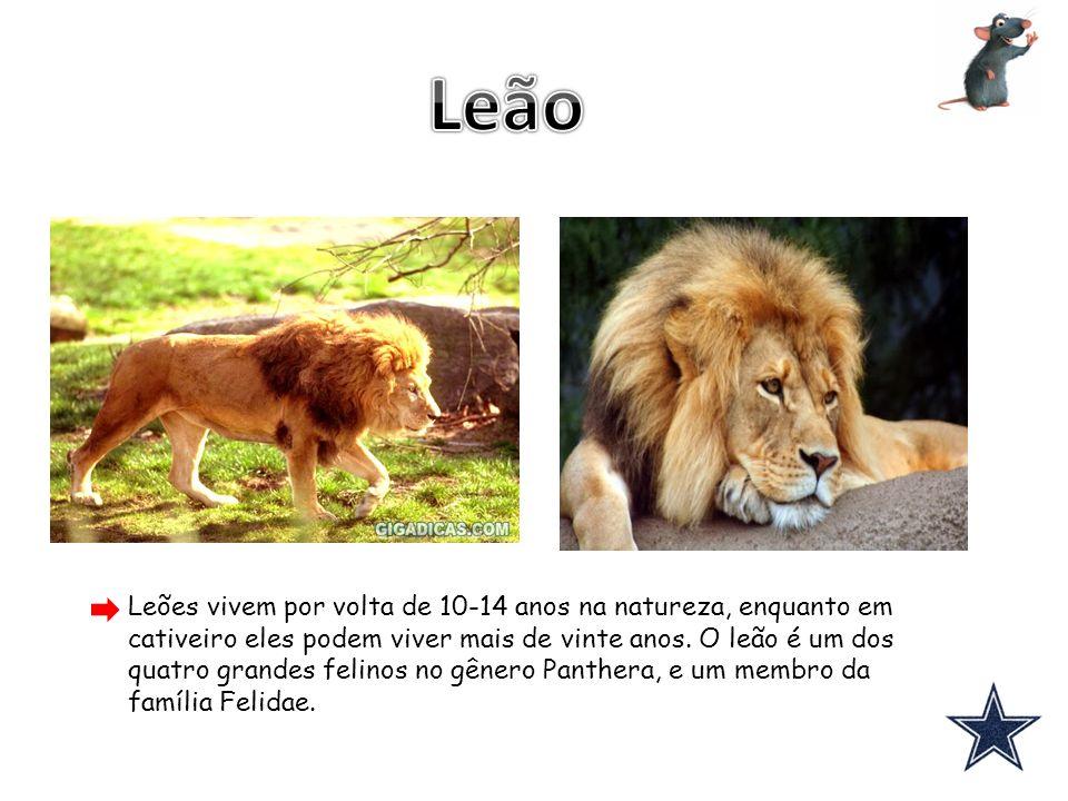 Leões vivem por volta de 10-14 anos na natureza, enquanto em cativeiro eles podem viver mais de vinte anos. O leão é um dos quatro grandes felinos no