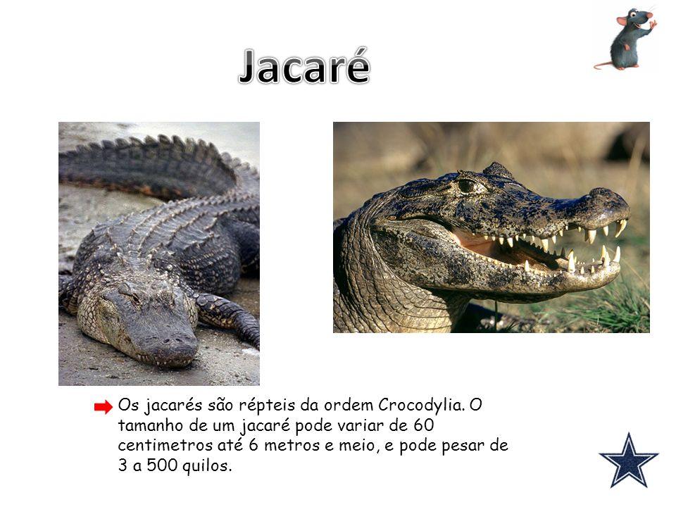 Os jacarés são répteis da ordem Crocodylia. O tamanho de um jacaré pode variar de 60 centimetros até 6 metros e meio, e pode pesar de 3 a 500 quilos.