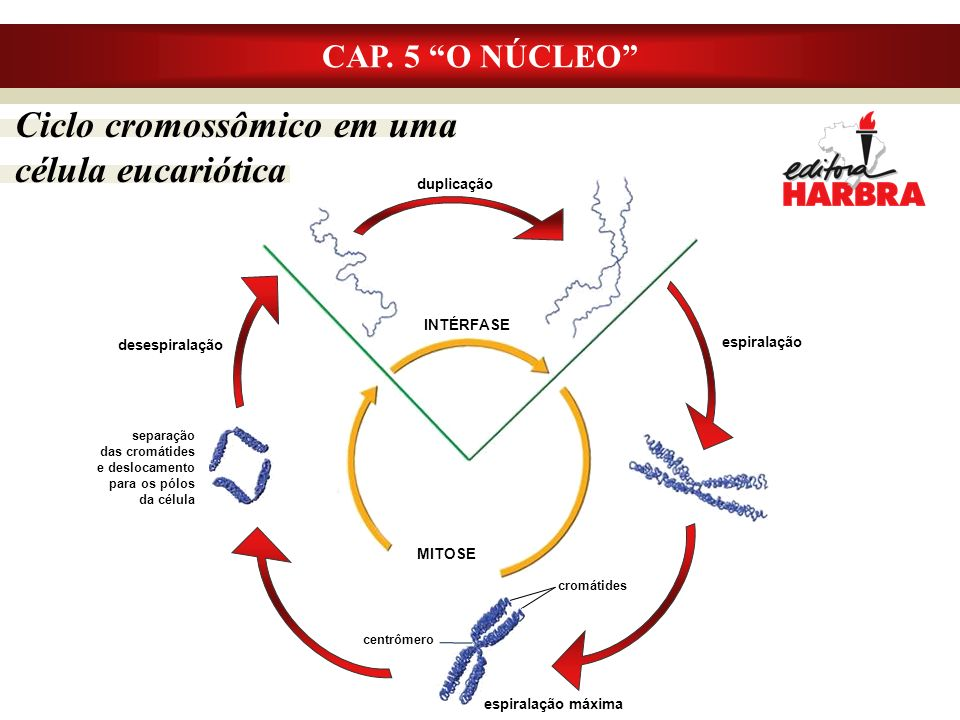 CAP. 5 O NÚCLEO Ciclo cromossômico em uma célula eucariótica espiralação desespiralação cromátides espiralação máxima centrômero INTÉRFASE MITOSE dupl