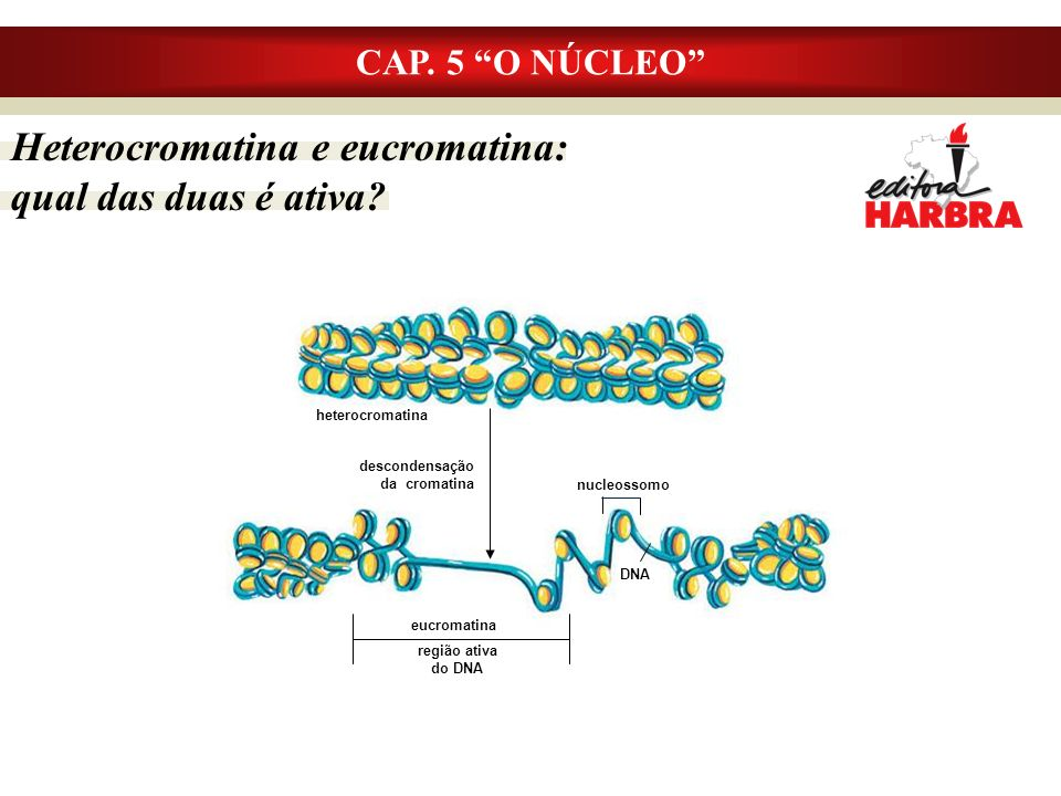 Heterocromatina e eucromatina: qual das duas é ativa.