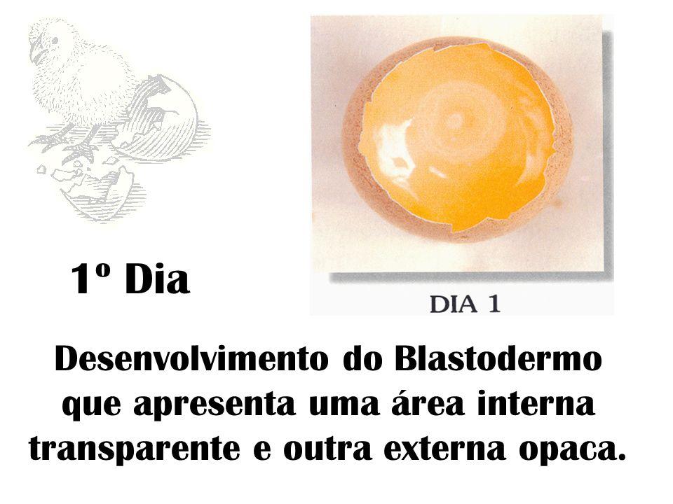 Desenvolvimento do Blastodermo que apresenta uma área interna transparente e outra externa opaca. 1º Dia