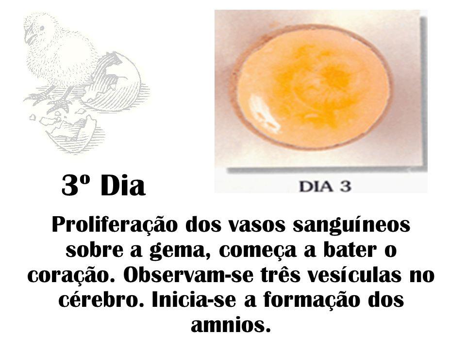 3º Dia Proliferação dos vasos sanguíneos sobre a gema, começa a bater o coração. Observam-se três vesículas no cérebro. Inicia-se a formação dos amnio