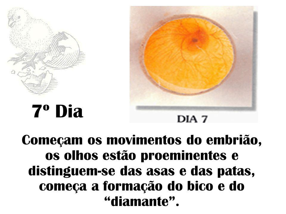 7º Dia Começam os movimentos do embrião, os olhos estão proeminentes e distinguem-se das asas e das patas, começa a formação do bico e do diamante.