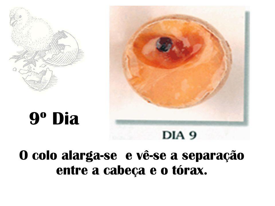 9º Dia O colo alarga-se e vê-se a separação entre a cabeça e o tórax.