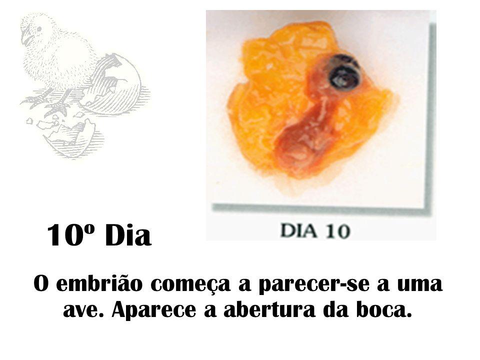 10º Dia O embrião começa a parecer-se a uma ave. Aparece a abertura da boca.