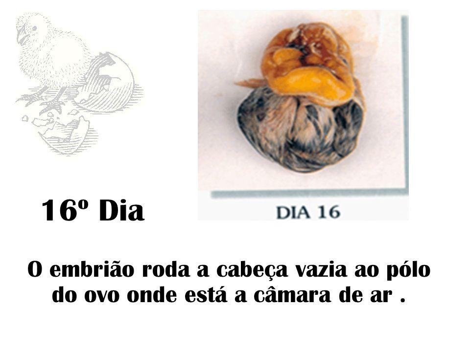 16º Dia O embrião roda a cabeça vazia ao pólo do ovo onde está a câmara de ar.