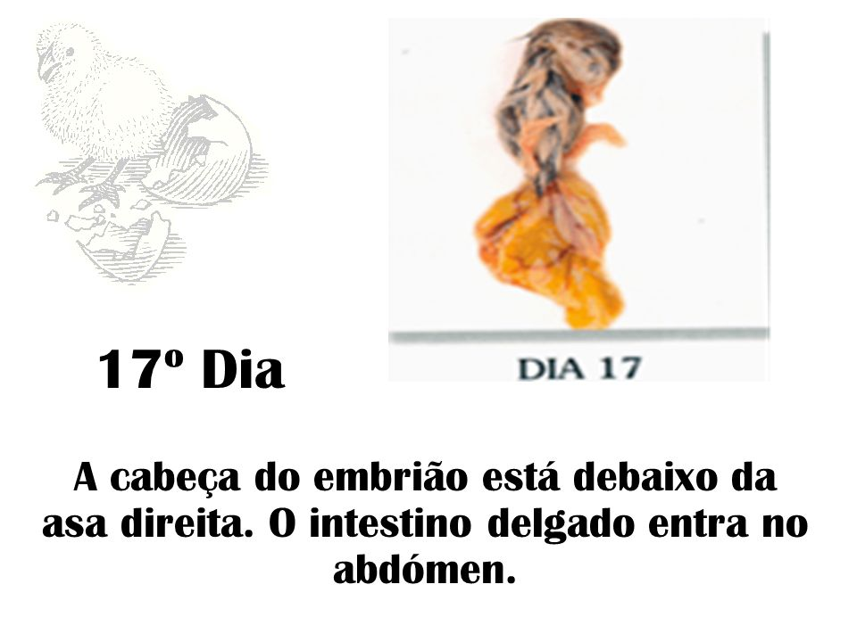 17º Dia A cabeça do embrião está debaixo da asa direita. O intestino delgado entra no abdómen.