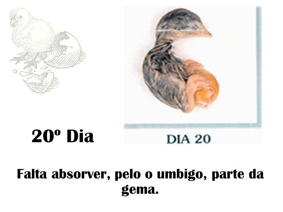 20º Dia Falta absorver, pelo o umbigo, parte da gema.