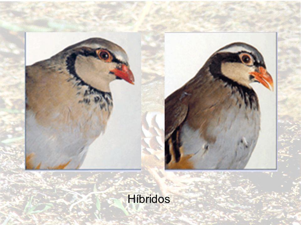 Híbridos