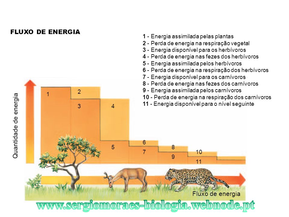 FLUXO DE ENERGIA Fluxo de energia 1 - Energia assimilada pelas plantas 2 - Perda de energia na respiração vegetal 3 - Energia disponível para os herbí