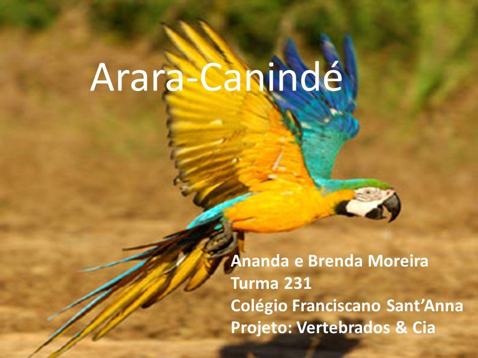 Arara-Canindé Ananda e Brenda Moreira Turma 231 Colégio Franciscano SantAnna Projeto: Vertebrados & Cia