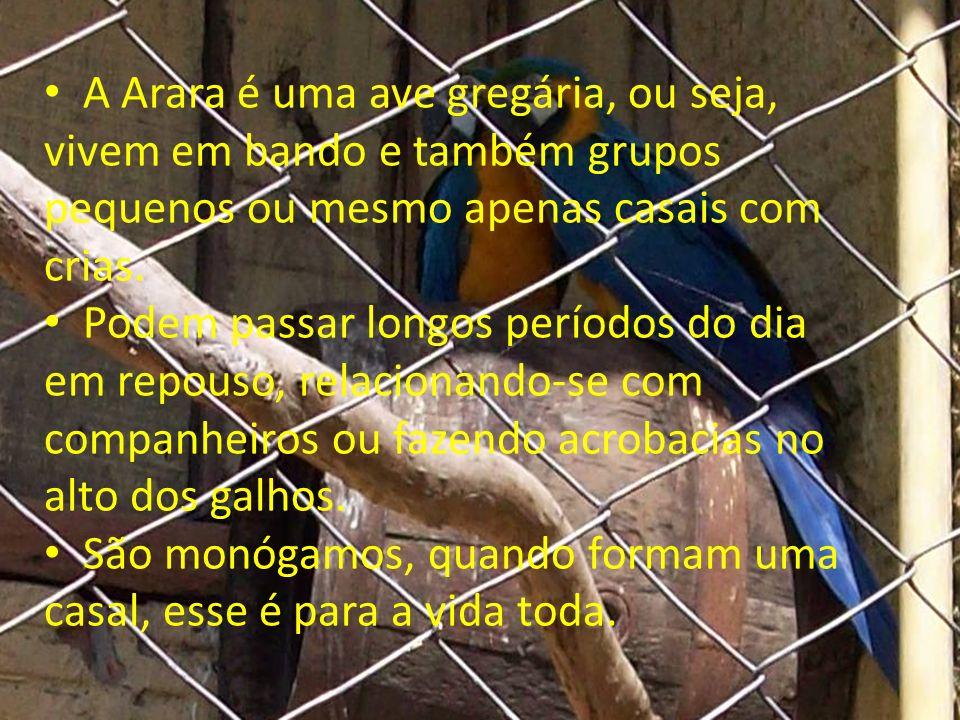 A Arara é uma ave gregária, ou seja, vivem em bando e também grupos pequenos ou mesmo apenas casais com crias. Podem passar longos períodos do dia em