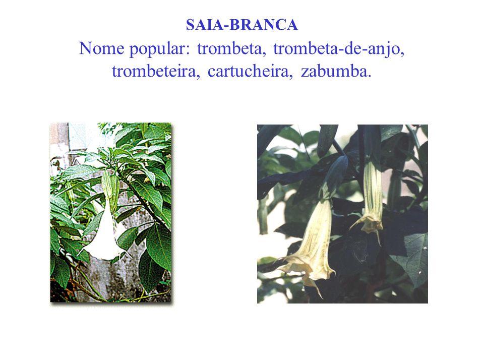 SAIA-BRANCA Nome popular: trombeta, trombeta-de-anjo, trombeteira, cartucheira, zabumba.