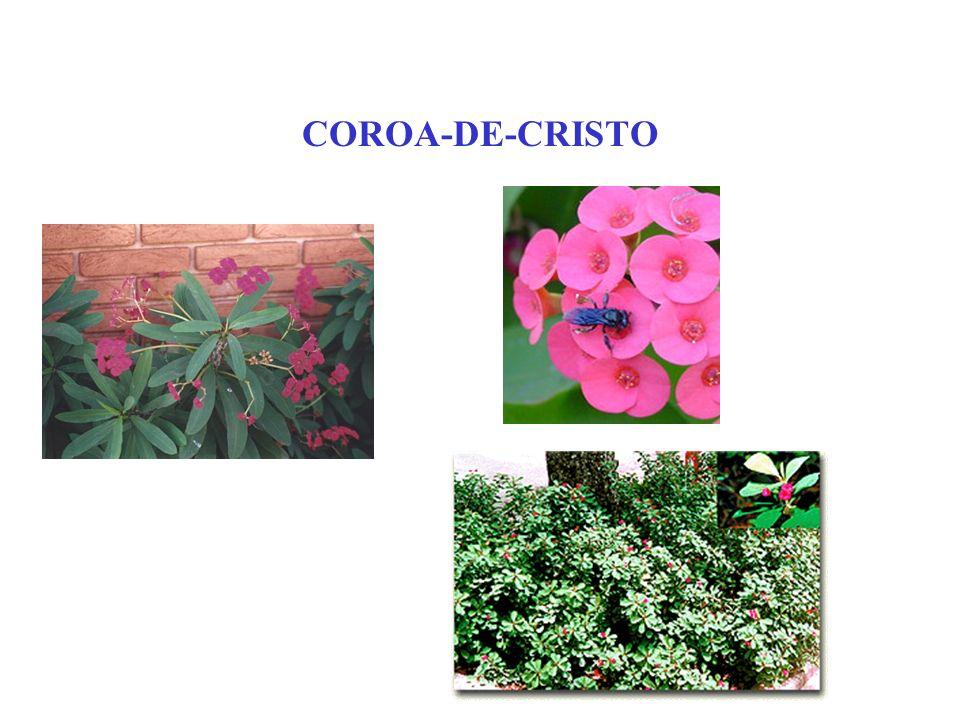COROA-DE-CRISTO