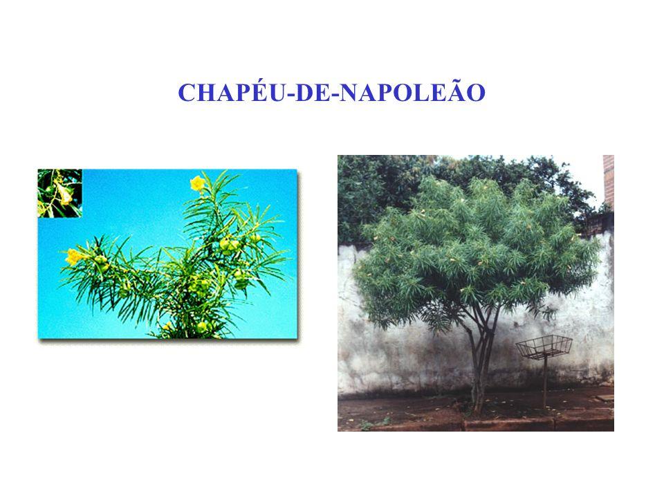 CHAPÉU-DE-NAPOLEÃO