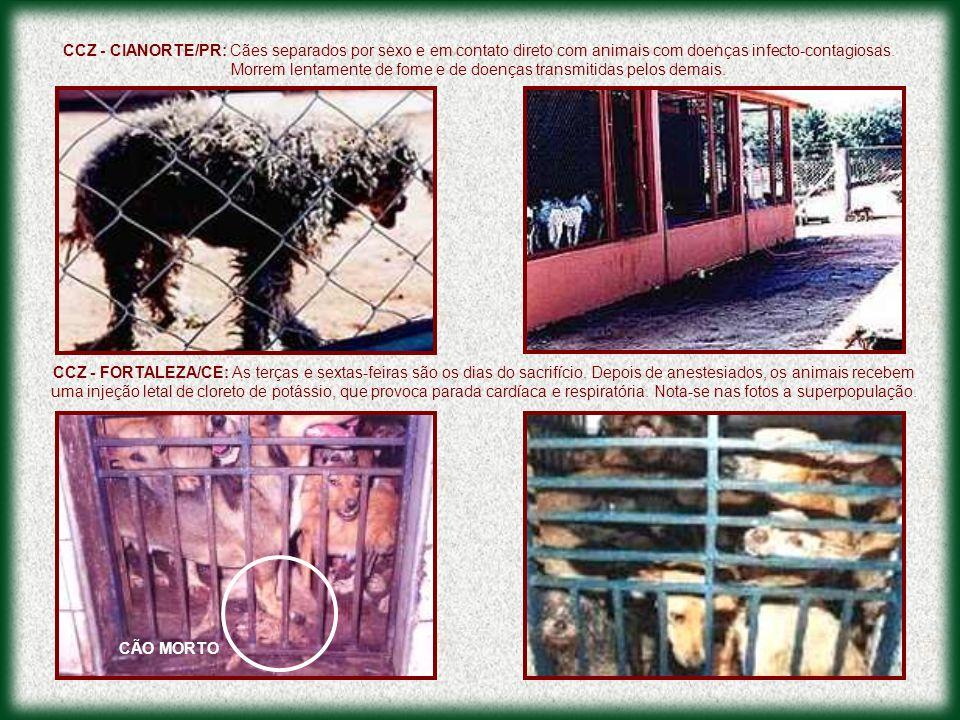 CCZ - CIANORTE/PR: Cães separados por sexo e em contato direto com animais com doenças infecto-contagiosas. Morrem lentamente de fome e de doenças tra