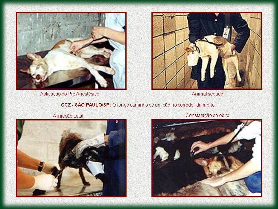 CCZ - SÃO PAULO/SP: O longo caminho de um cão no corredor da morte. Animal sedadoAplicação do Pré Anestésico A Injeção Letal Constatação do óbito