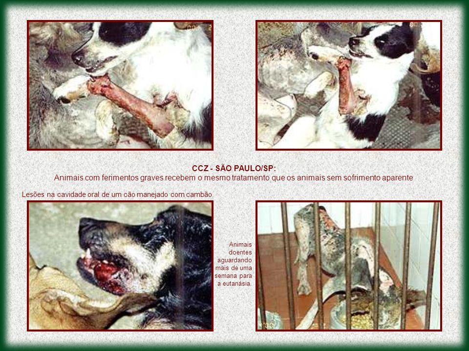 . Animais doentes aguardando mais de uma semana para a eutanásia. Lesões na cavidade oral de um cão manejado com cambão. CCZ - SÃO PAULO/SP: Animais c