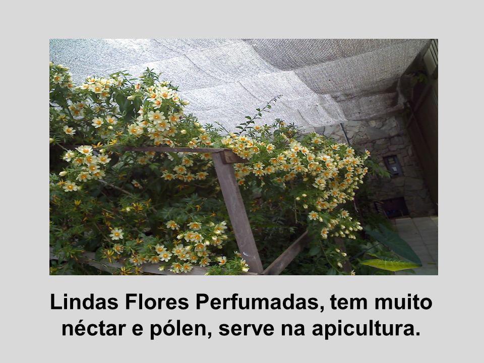 Lindas Flores Perfumadas, tem muito néctar e pólen, serve na apicultura.