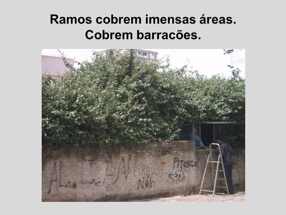 Ramos cobrem imensas áreas. Cobrem barracões.