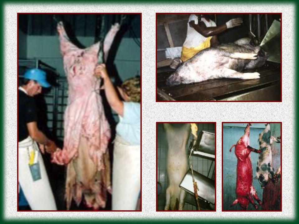 VITELA: VITELA: A produção de leite também implica em crueldade com os animais.
