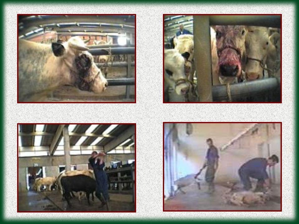 Os animais são prensados o máximo possível para minimizar os custos.