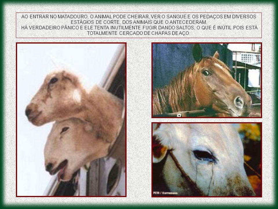 AO ENTRAR NO MATADOURO, O ANIMAL PODE CHEIRAR, VER O SANGUE E OS PEDAÇOS EM DIVERSOS ESTÁGIOS DE CORTE, DOS ANIMAIS QUE O ANTECEDERAM. HÁ VERDADEIRO P
