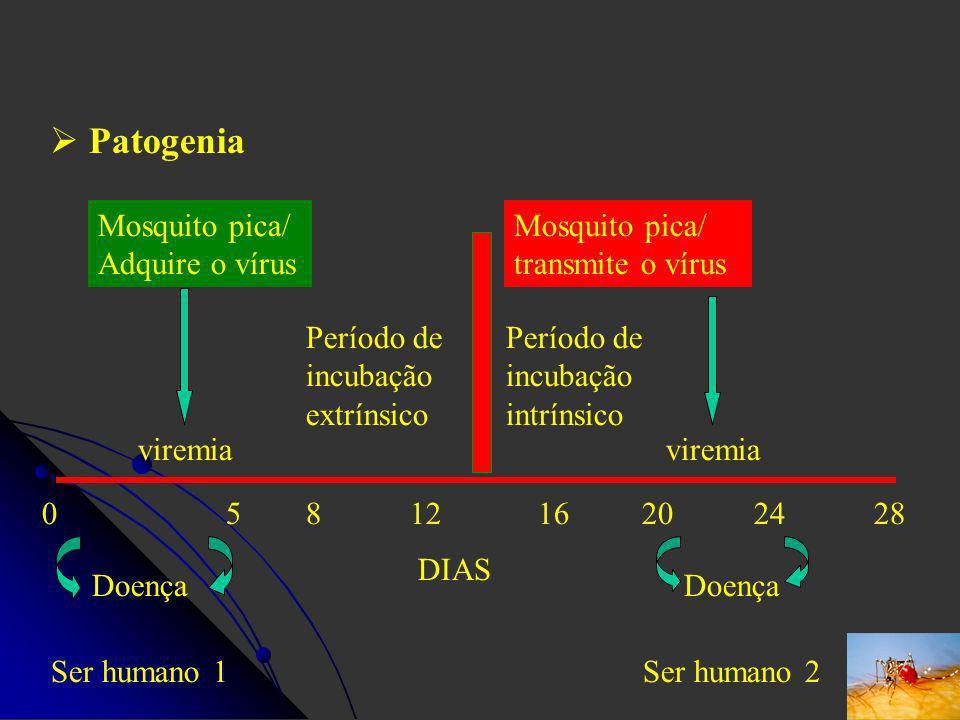Patogenia Mosquito pica/ Adquire o vírus viremia 0 5 Doença Ser humano 1 8 12 16 20 24 28 Período de incubação extrínsico Mosquito pica/ transmite o v