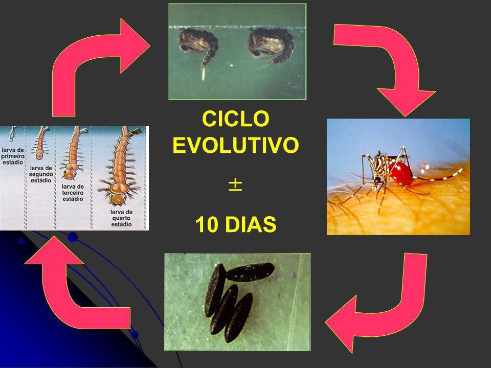 CICLO EVOLUTIVO ± 10 DIAS