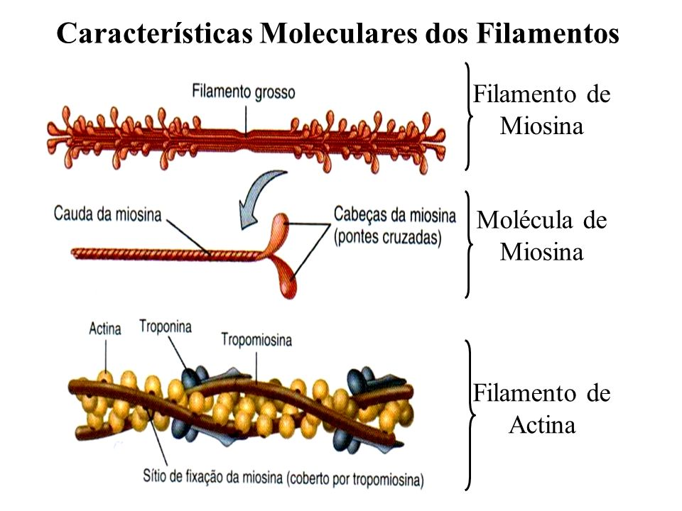 Filamento de Miosina Molécula de Miosina Filamento de Actina Características Moleculares dos Filamentos