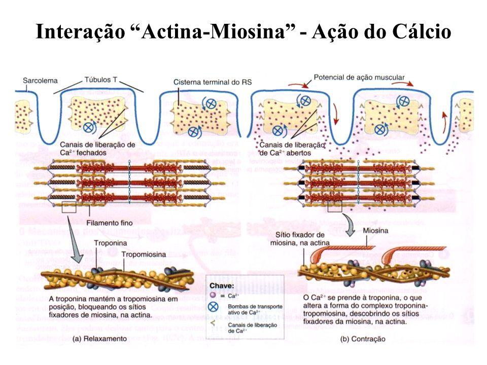 Interação Actina-Miosina - Ação do Cálcio