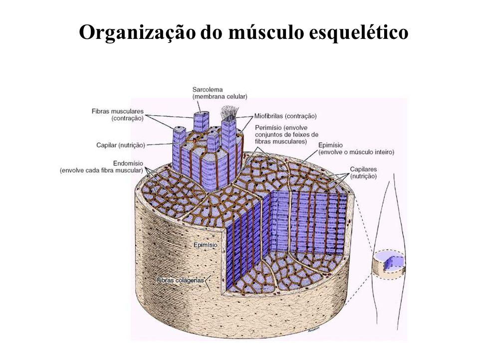 Quais são as funções dos Fusos Musculares.