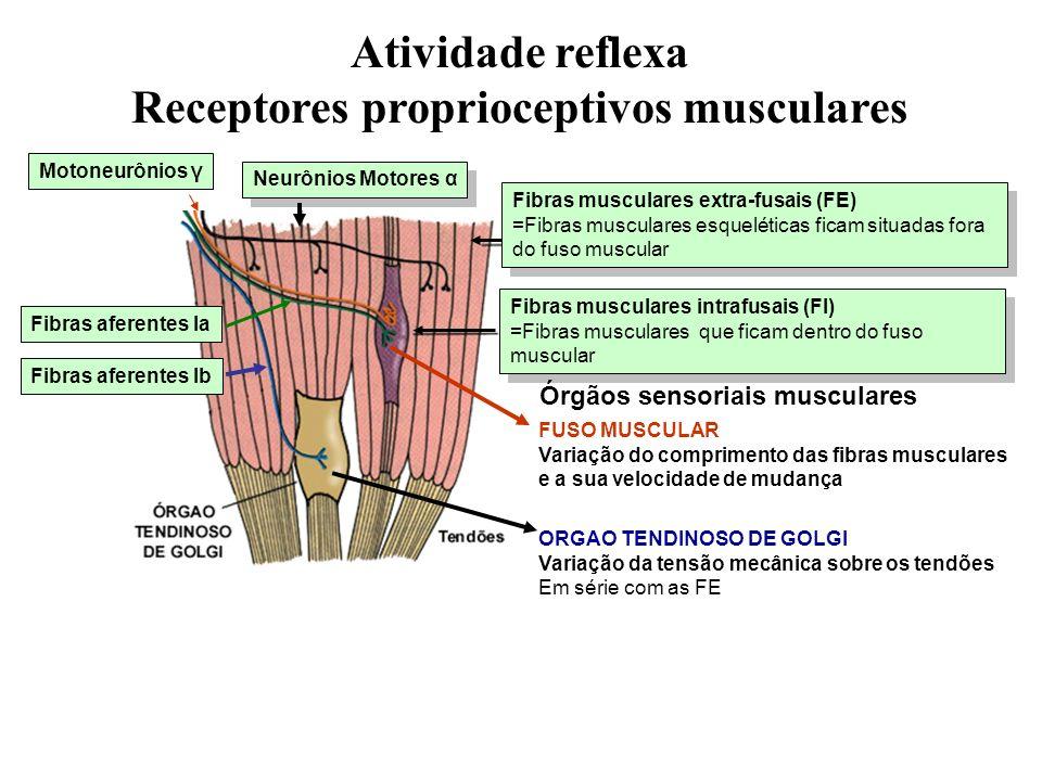 Fibras musculares intrafusais (FI) =Fibras musculares que ficam dentro do fuso muscular Fibras musculares intrafusais (FI) =Fibras musculares que fica