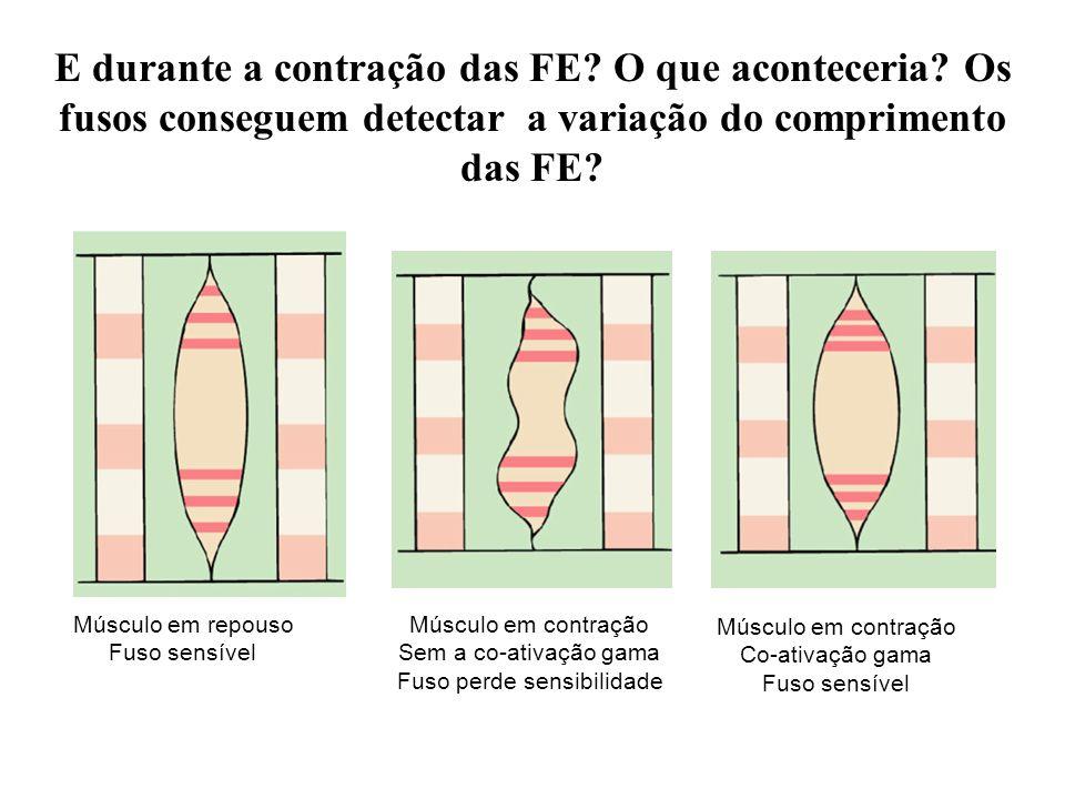 Músculo em repouso Fuso sensível Músculo em contração Sem a co-ativação gama Fuso perde sensibilidade Músculo em contração Co-ativação gama Fuso sensí