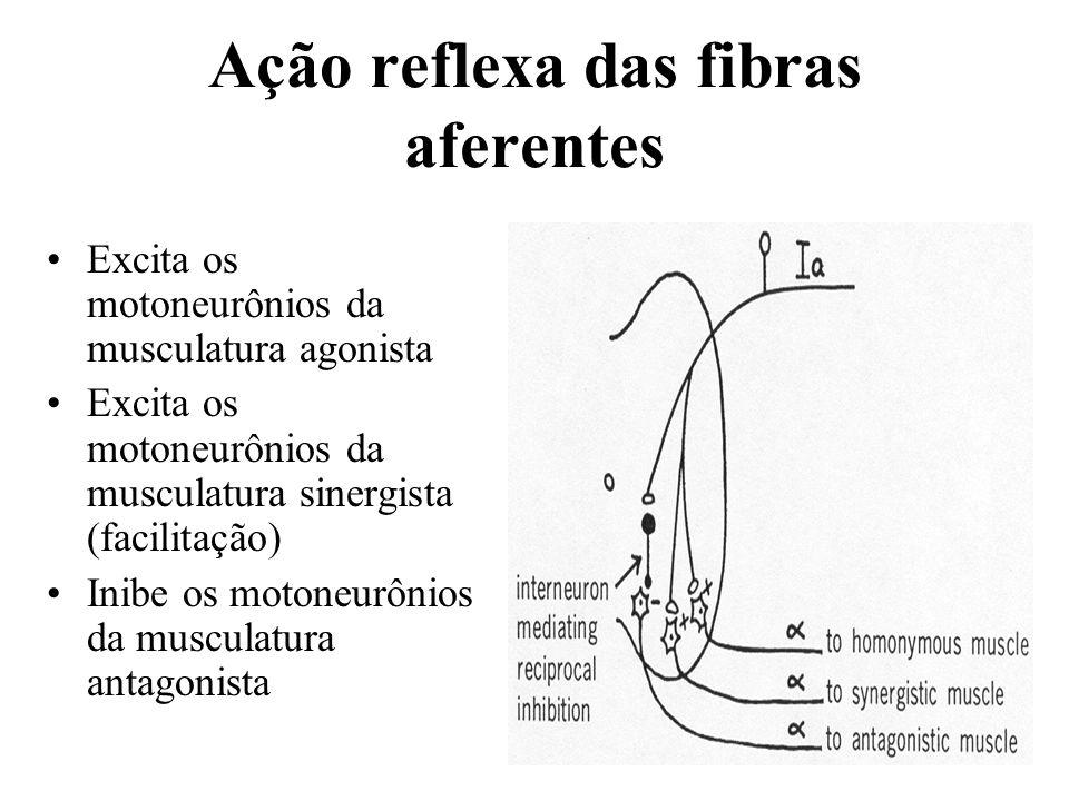 Ação reflexa das fibras aferentes Excita os motoneurônios da musculatura agonista Excita os motoneurônios da musculatura sinergista (facilitação) Inib