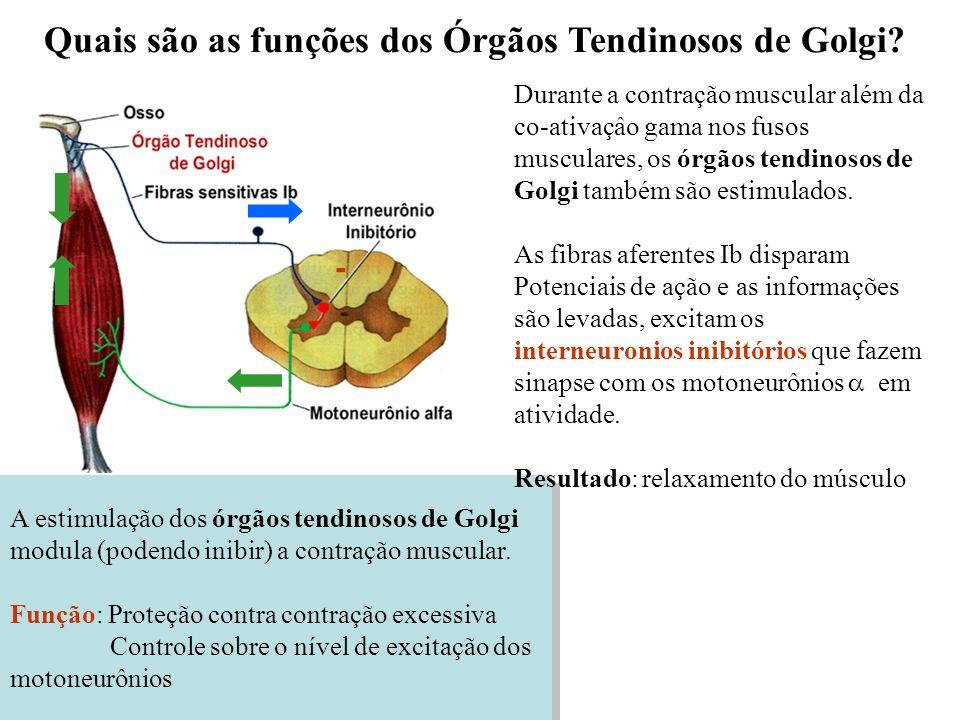 - A estimulação dos órgãos tendinosos de Golgi modula (podendo inibir) a contração muscular. Função: Proteção contra contração excessiva Controle sobr