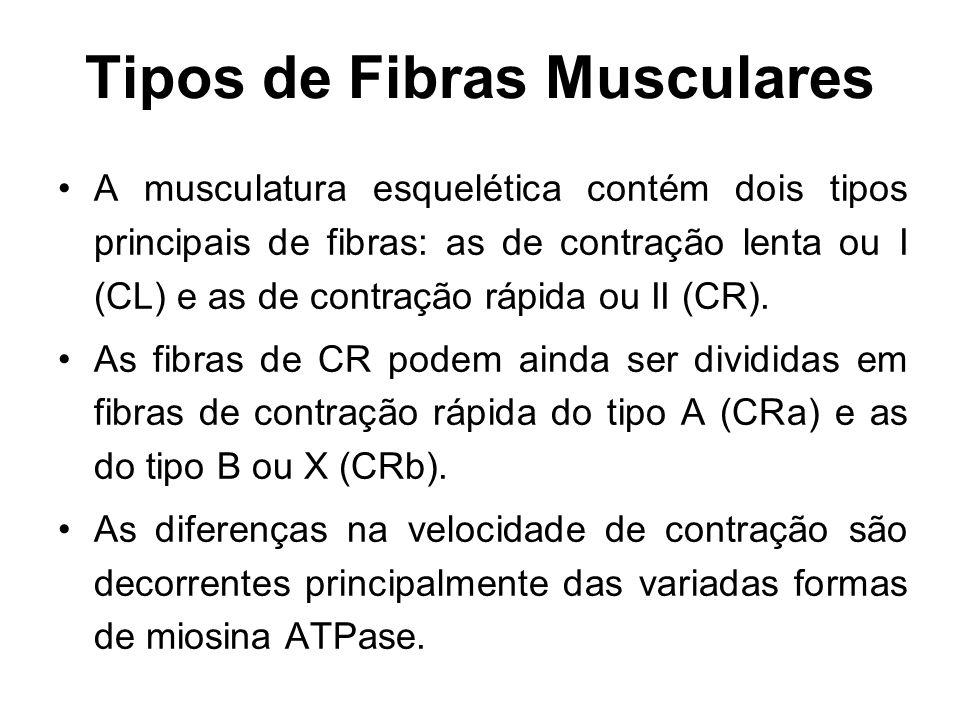 Tipos de Fibras Musculares A musculatura esquelética contém dois tipos principais de fibras: as de contração lenta ou I (CL) e as de contração rápida