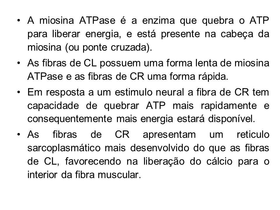 A miosina ATPase é a enzima que quebra o ATP para liberar energia, e está presente na cabeça da miosina (ou ponte cruzada). As fibras de CL possuem um