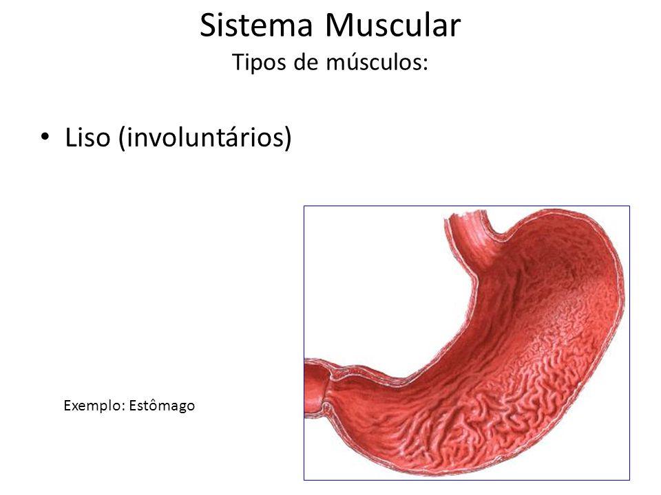 Sistema Muscular Tipos de músculos: Liso (involuntários) Exemplo: Estômago
