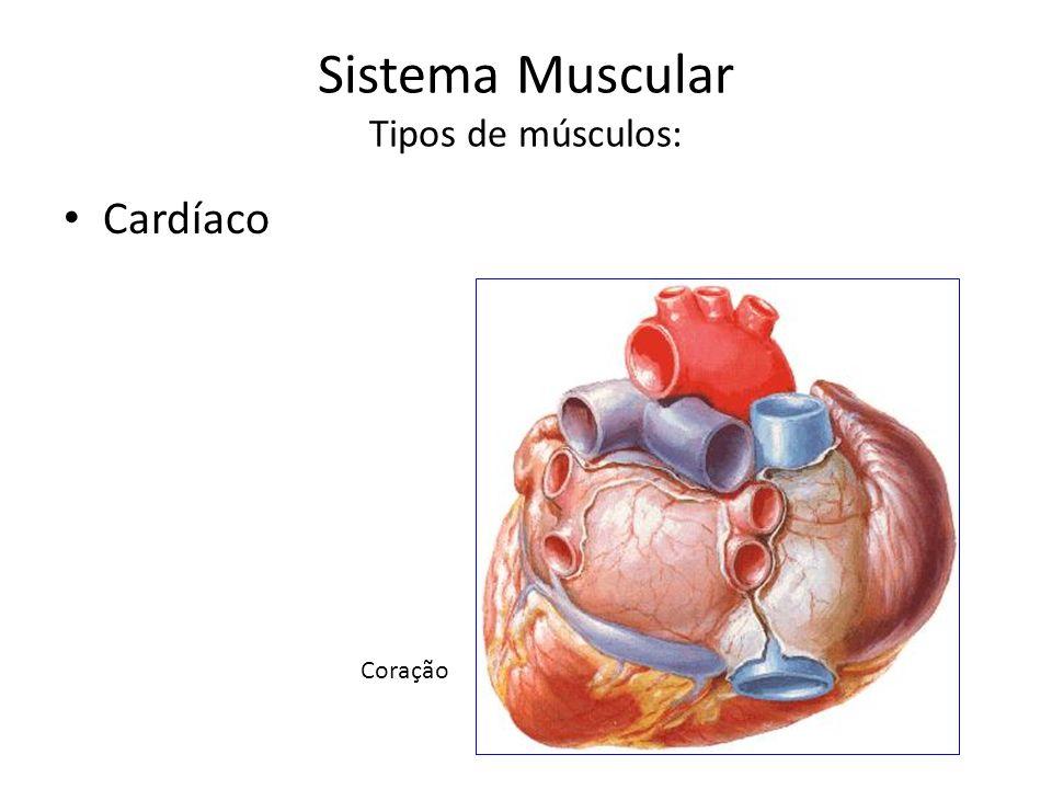 Sistema Muscular Tipos de músculos: Cardíaco Coração